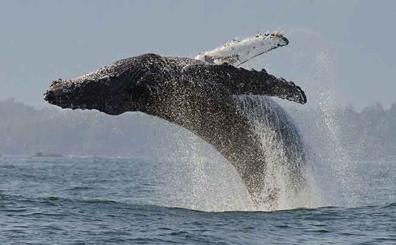 A humpback whale breaches in Monterey Bay.