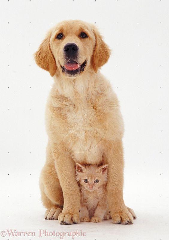 Golden Retriever pup and kitten