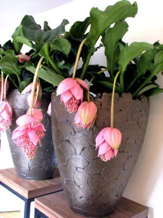 Medinilla magnifica als zeer mooie kamerplant
