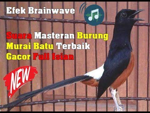 Suara Masteran Burung Murai Terbaik Gacor Full Isian Burung Suara Murai