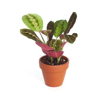 Home Botanicals Live 4 Inch Maranta Red Prayer Plant In Terracotta Pot House Plant Air Purifying Indoor Outdoor Plant Size 4 Inch House Plants Plants House Plants Decor