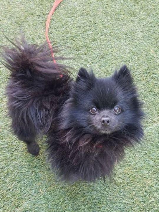 Adopt Him Today Adoptapet Adoptdontshop Floofer In 2020 Pomeranian For Adoption Pets Pomeranian