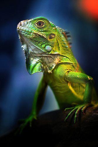 La Iguana verde es un gran lagarto arbóreo de América Central y de Sudamérica. Se encuentra desde México hasta el norte de Argentina, sur de Brasil y de Paraguay, tanto como en las Islas del Caribe y en Florida.