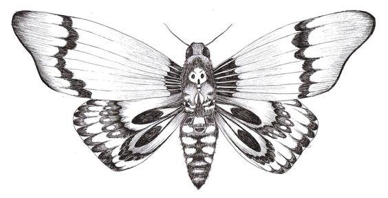 Dessin d 39 un papillon sphinx t te de mort drawing of a butterfly death 39 s head moth l 39 amour des - Signification papillon de nuit ...