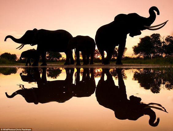 African Elephants in Botswana taken by wildlife photographer and television presenter Chris Packham