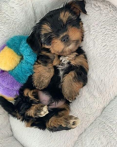 Yorkshire Yorkshire Terrier Yorkshire Pudding Yorkshire Toy Chien Yorkshire Yorkshire Angleterre Yorkshire Biewer Yorkshi En 2020 Chiot Yorkshire Chiot Chien Yorkshire