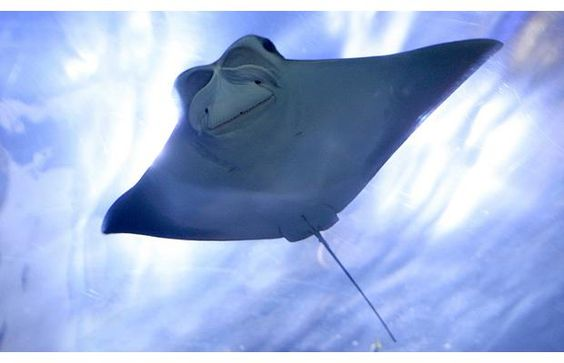 Cow-Nose-Ray....smiles
