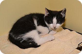 Yardley, PA - Domestic Shorthair. Meet Rudolph, a kitten for adoption. http://www.adoptapet.com/pet/14532972-yardley-pennsylvania-kitten