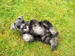 These Schnauzer pictures remind me of a time in my childhood when I lived on a farm that trained German police dogs. The dogs were kept in a kennel when not being trained. All of them were German police dogs except for two Giant Schnauzers. I wasn't...