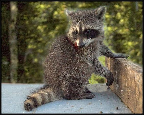 12 Weeks Old Found In An Attic Abandoned Pixdaus Cute Animals Lovely Creatures Cute Raccoon