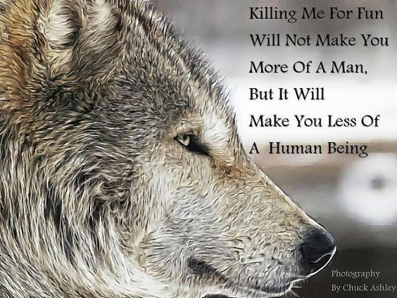 Image result for wolf pic killing me for fun