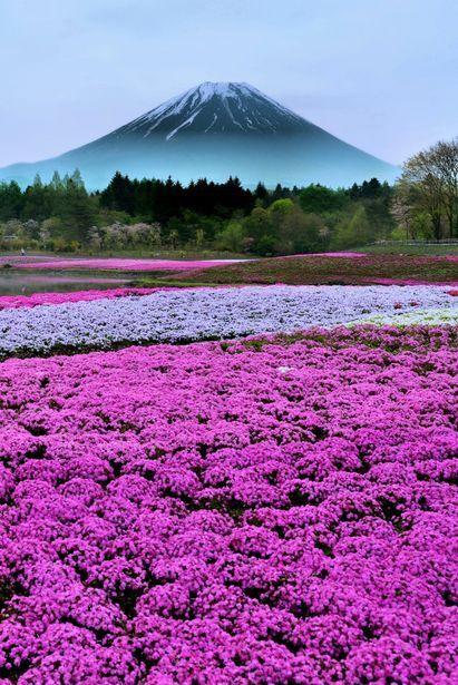 富士山と芝桜が綺麗で美しい花畑