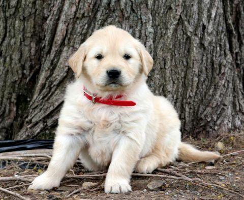 Puppy Finder Find Buy A Dog Today By Using Our Petfinder In 2020 Golden Retriever Puppy Finder Retriever Puppy