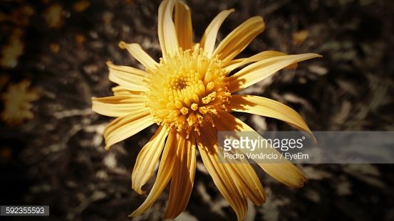 Foto de stock : Close-Up Of Yellow Flower Blooming Outdoors