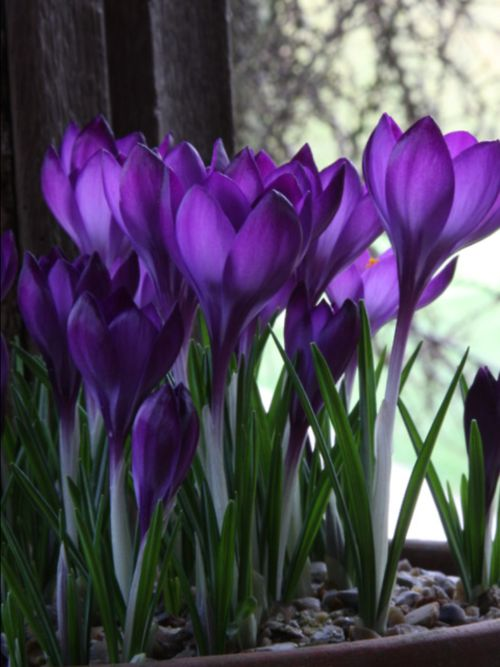 Crocus, the sign that spring is upon us and they have finally come back to Minnesota!