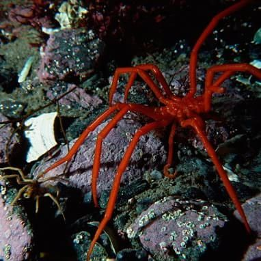 The mystery of the GIANT SEA SPIDERS