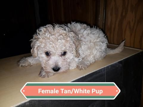 Litter Of 3 Maltipoo Puppies For Sale In Denver Co Adn