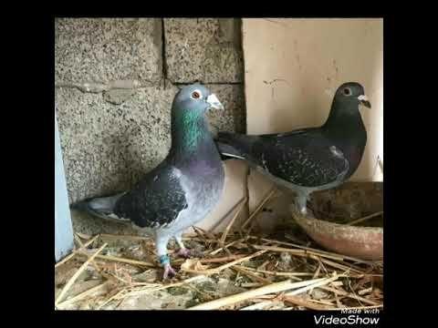 Top 20 Youtube Pigeon Bird Parrot