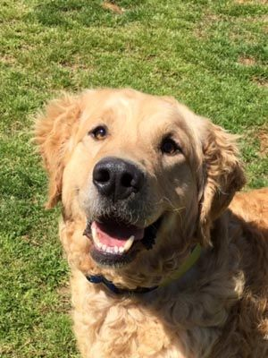 Cottontail has been adopted! This is Cottontail - 2 yrs. He is a rescue from Turkey. He is neutered, current on vacciantions, good with dogs, needs a stay at home owner, a physical fence and no kids under age 6 yrs. Adopt A Golden Atlanta, GA.