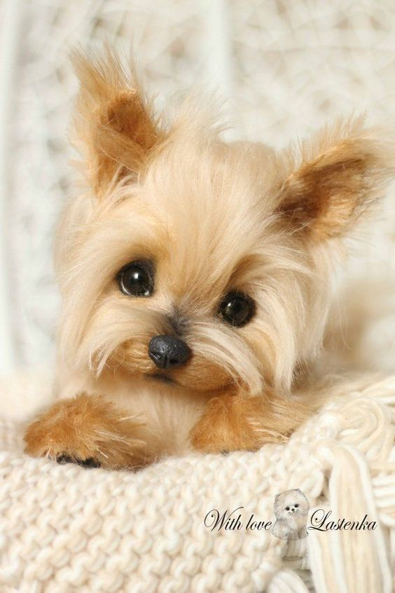 Yorkshire Terrier Puppies Are The Cutest Dogs In The World That Come From Yorkshire England Follow Us To Get Yo With Images Sheep Dog Puppy Yorkshire Terrier Yorkie Puppy