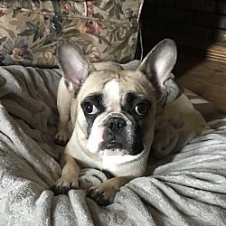 Columbus Ohio French Bulldog Meet Biscuit A For Adoption