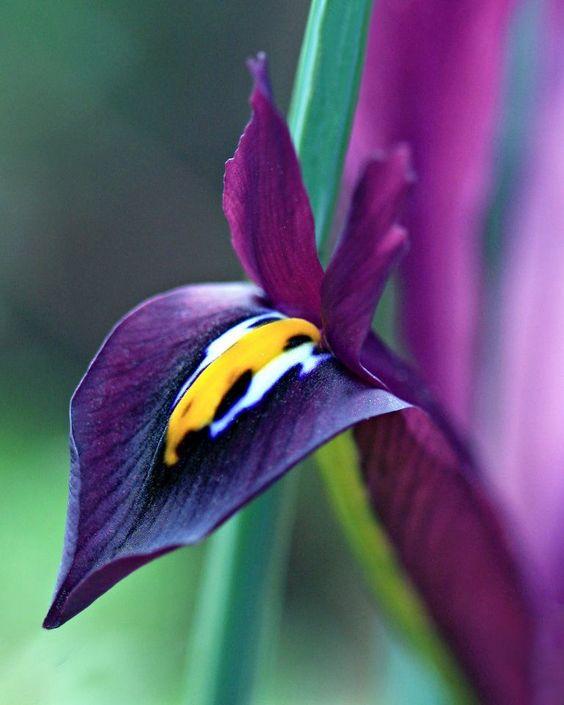 iris lacustris how tall