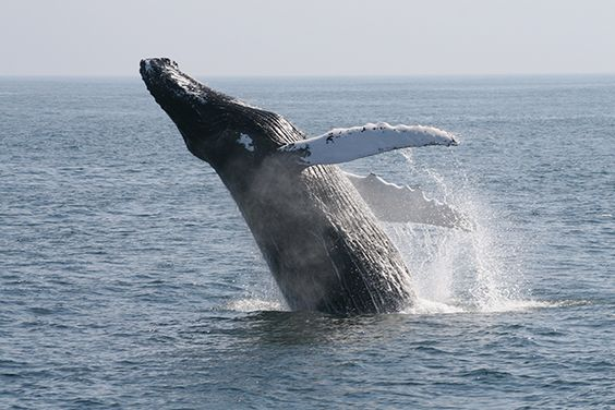 International Union for the Conservation of Nature Votes for an End to Japanese Whaling - Ninety-five percent of the 89 member nations of the Union voted for the cessation. http://www.ifaw.org/united-states/news/iucn-votes-end-japan%E2%80%99s-so-called-scientific-whaling?ms=UONDC170001076&cid=701F0000001IuQi