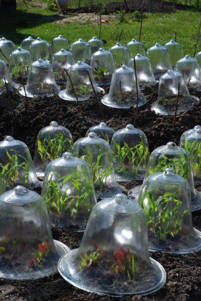 Garden cloches.
