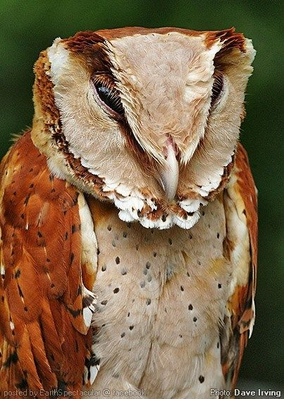 Oriental Bay-Owl. I have never seen one of these. How amazing!:
