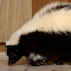Skunk Smell Skunks And How To Get On Pinterest