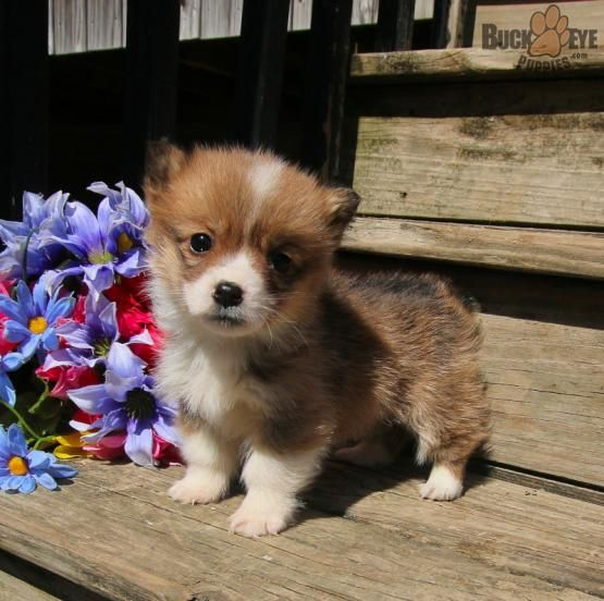 Wendy Welsh Corgi Pembroke Puppy For Sale In Richmond In Buckeye Puppies With Images Pembroke Welsh Corgi Corgi Corgi Facts