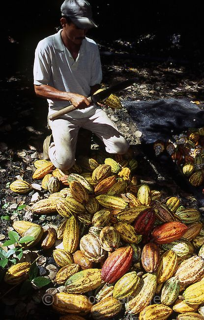 harvesting cacao beans from the ripe pods, Venezuela. Actually, this is one of the things I miss most there. I used to make my own chocolate when I lived there, and the cacao from Venezuela has a really unique flavor.