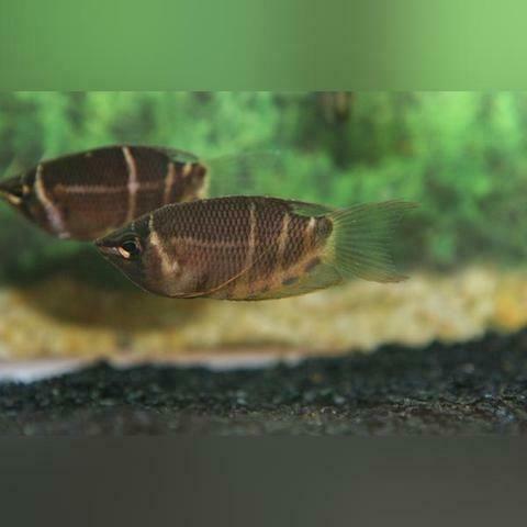 Chocolate Gourami Aquarium Fish Diy Fish Tank Aquarium Fish Tank