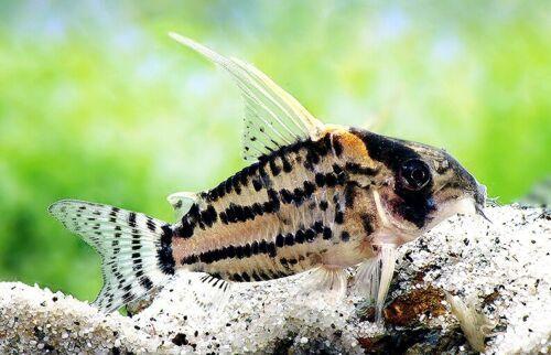 Corydoras Cf Pulcher Rio Purus Rare Catfish Tropical Fish Aquarium Aquarium Fish Catfish For Sale