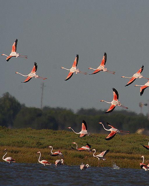 Flock of flamingoes