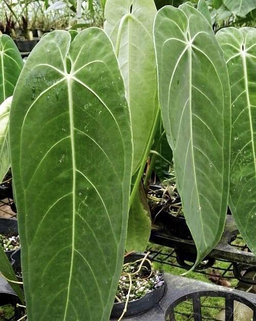 Anthurium Warocqueanum X Waterburyanum Hybrid In 2020 Anthurium Anthurium Plant Plants