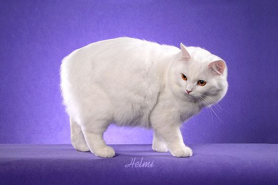 Coppereyed white Cymric (longhaired Manx) photo by