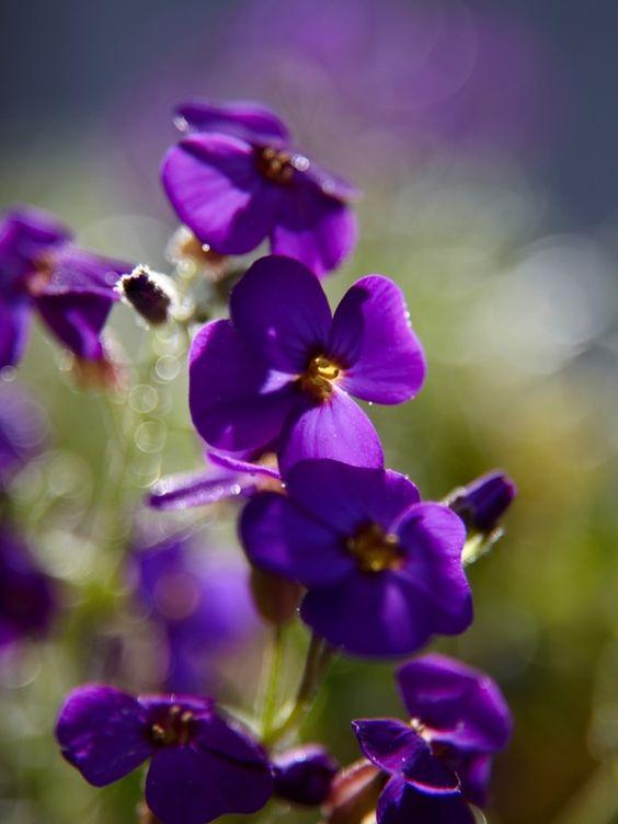 Aubrieta Aubrieta, ook wel Blauwkussen genoemd, houdt van een plekje in de volle zon en wordt zo'n tien centimeter hoog. De volksnaam dankt de plant aan haar compacte bloeivorm: Aubrieta lijkt op een kussen van blauwe bloemetjes. Het kleurenpalet is tegenwoordig bijzonder rijk: blauw, wit, roze, rood en paars. De bloei begint in maart en duurt tot in mei.