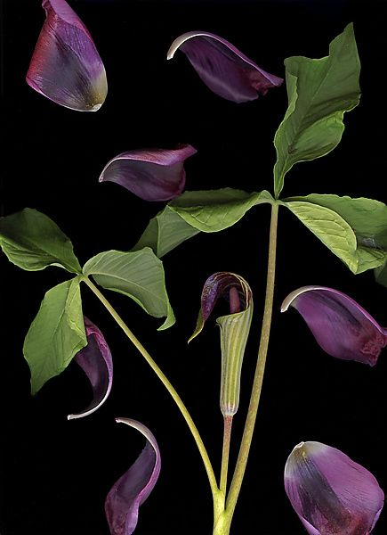 Jack-in-the-Pulpit with Tulip Petals by Lisa A. Frank: Color Photograph available at www.artfulhome.com