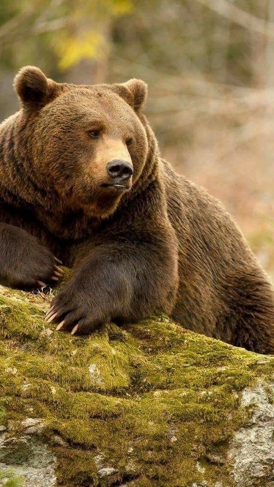 Pin By Rebecca Chargin On Forest Jungle Animals Bear Pictures Grizzly Bear Animals Wild
