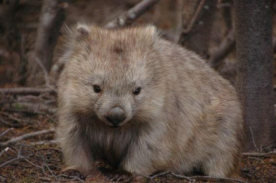 Get close to the wombats on Maria Island, Tasmania, Australia