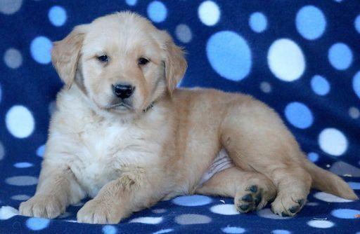 Golden Retriever Puppy For Sale In Mount Joy Pa Adn 61427 On
