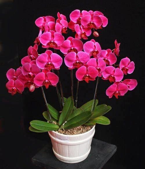 Aprenda a cuidar de Phalaenopsis, clique na foto -------------------------------------------------------------------------- #falenopsis #phalaenopsis #orquídeaborboleta falenopsis phalaenopsis orquídea borboleta