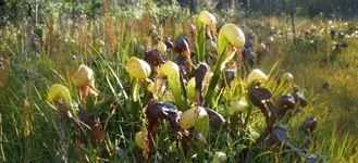 Cobra plants (Darlingtonia) for sale at California Carnivores.