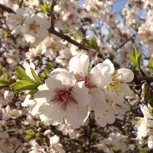 Primavera em Israel começa cedo com as belas flores da árvore de amêndoa crescendo em todos os lugares que você olhar