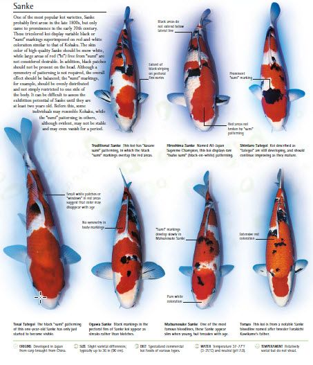 koi fish variety sanke