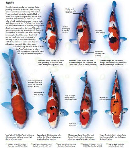 Koi fish care breeding and diy koi pond for Rare koi colors
