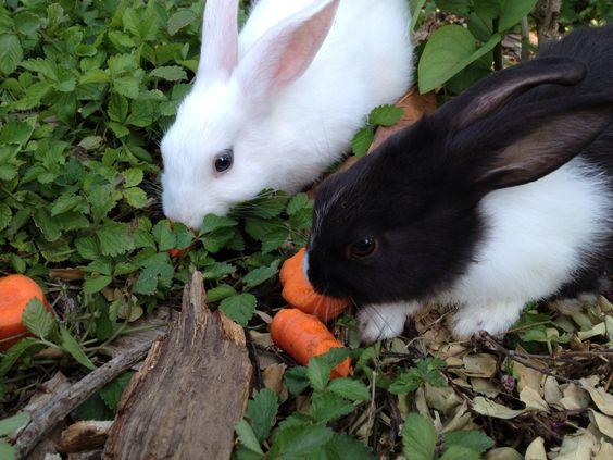 rabbits chickens and more baby bunnies back yard yards bunnies babies