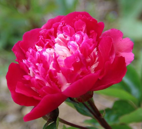 Nellie Shaylor - Herbaceous Peony / Paeonia