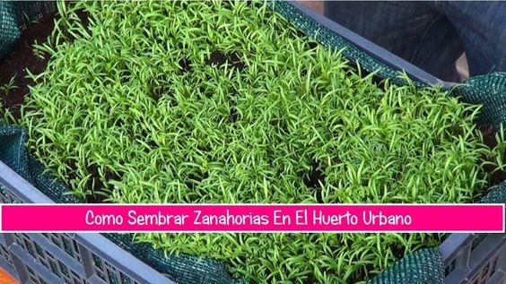Como Sembrar Zanahorias En El Huerto Urbano